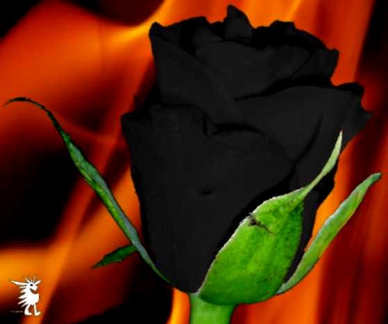 schwarze rose flammen 2 kreativ foto. Black Bedroom Furniture Sets. Home Design Ideas